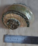 1pc Green Turban shell polished