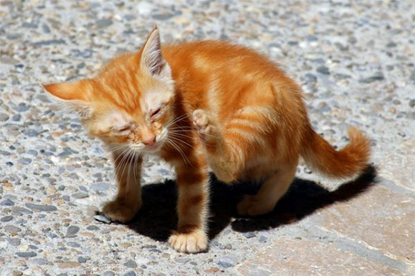 Excessive Itching In Cats