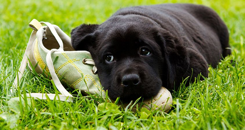 Why dogs love chewing your prized possessions
