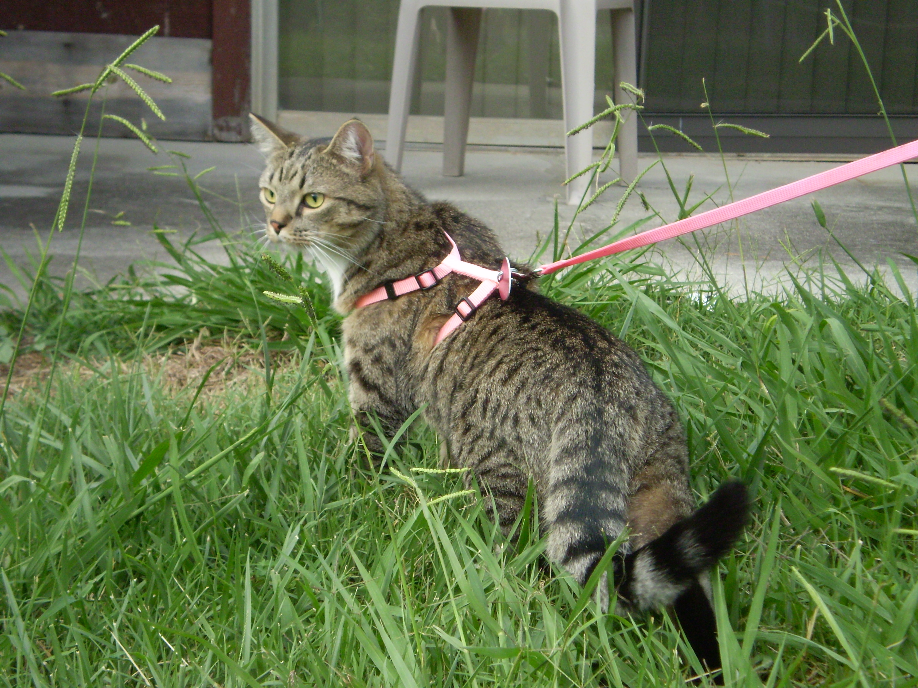 Cat For A Walk