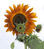 Sunflower 'Terracotta'