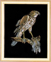 Goshawk on black velvet