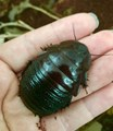 Common Burrowing Cockroach (or with Kit)