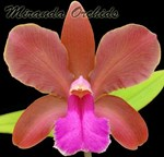 Cattleya bicolor ssp. brasiliensis 'J. Neto' x outcross select - NEW