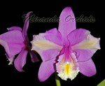 Cattleya harrisoniana peloric x sib select - NEW