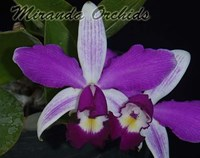 Cattleya violacea semi-alba striata x self - NEW