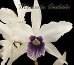 Laelia purpurata werkhauseri (43 'VTF' x striata) - NEW