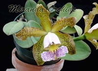 Cattleya schilleriana coerulea '#2' x self - NEW