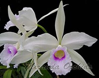 Laelia purpurata anelata x sib select - NEW