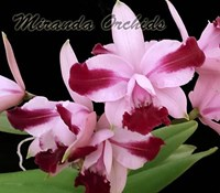 Cattleya intermedia (flammea vinicolor 'Miranda Orchids' x sanguinea) - NEW