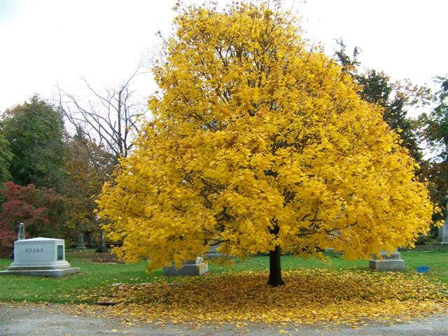 Acer platanoides norway maple yellow maple tree blerick for Arboles de jardin de hoja caduca