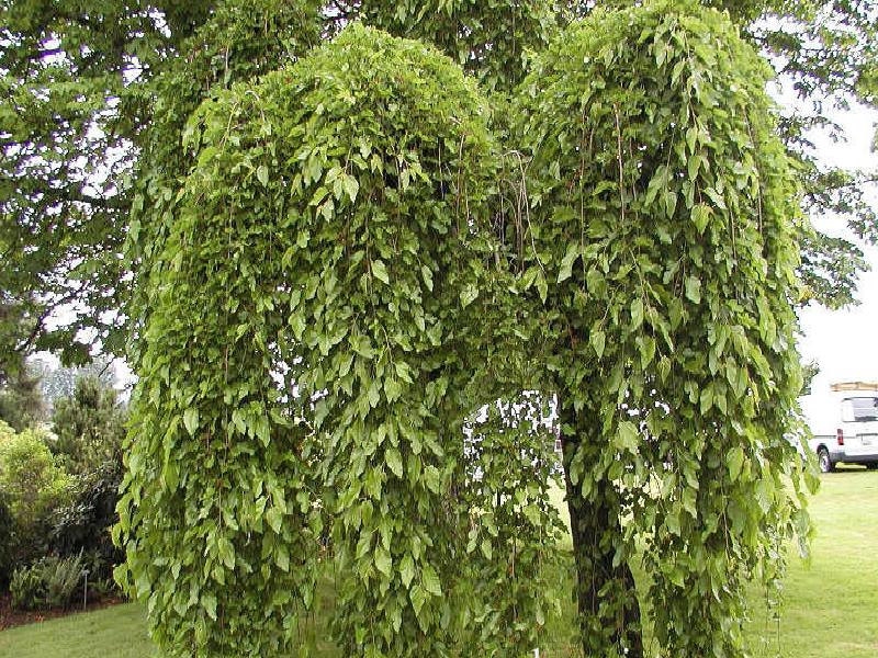 Morus alba pendula weeping mulberry tree blerick trees for Mullberry home