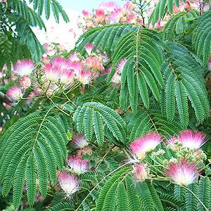 albizia julibrissin rosea blerick trees buy online trees advanced trees screening plants fruit. Black Bedroom Furniture Sets. Home Design Ideas