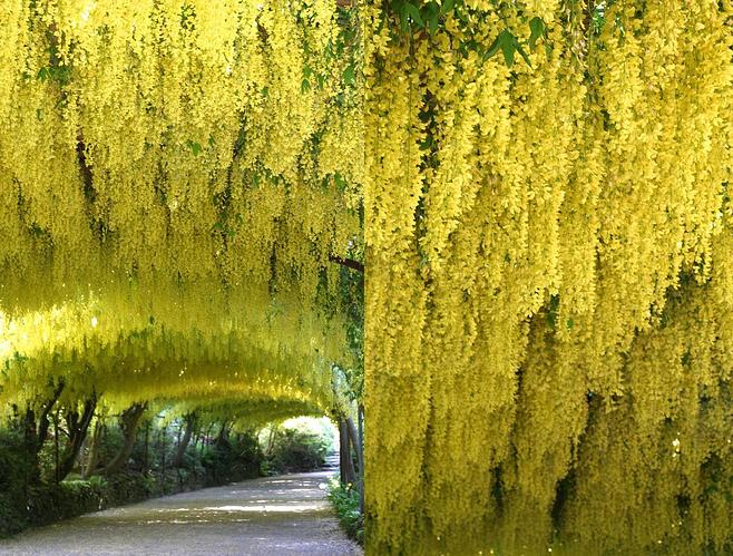 A small tree  Laburnum Weeping Golden Chain Tree