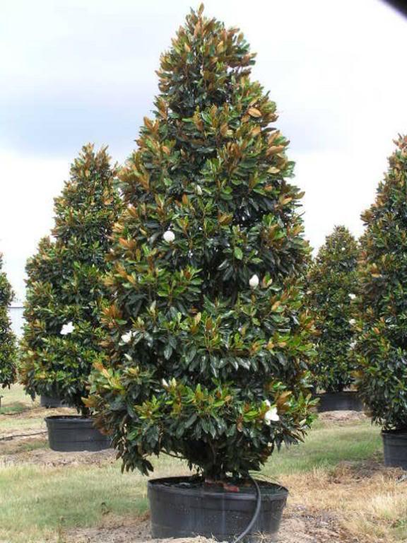 magnolia grandiflora little gem magnolia blerick trees buy online trees advanced trees. Black Bedroom Furniture Sets. Home Design Ideas