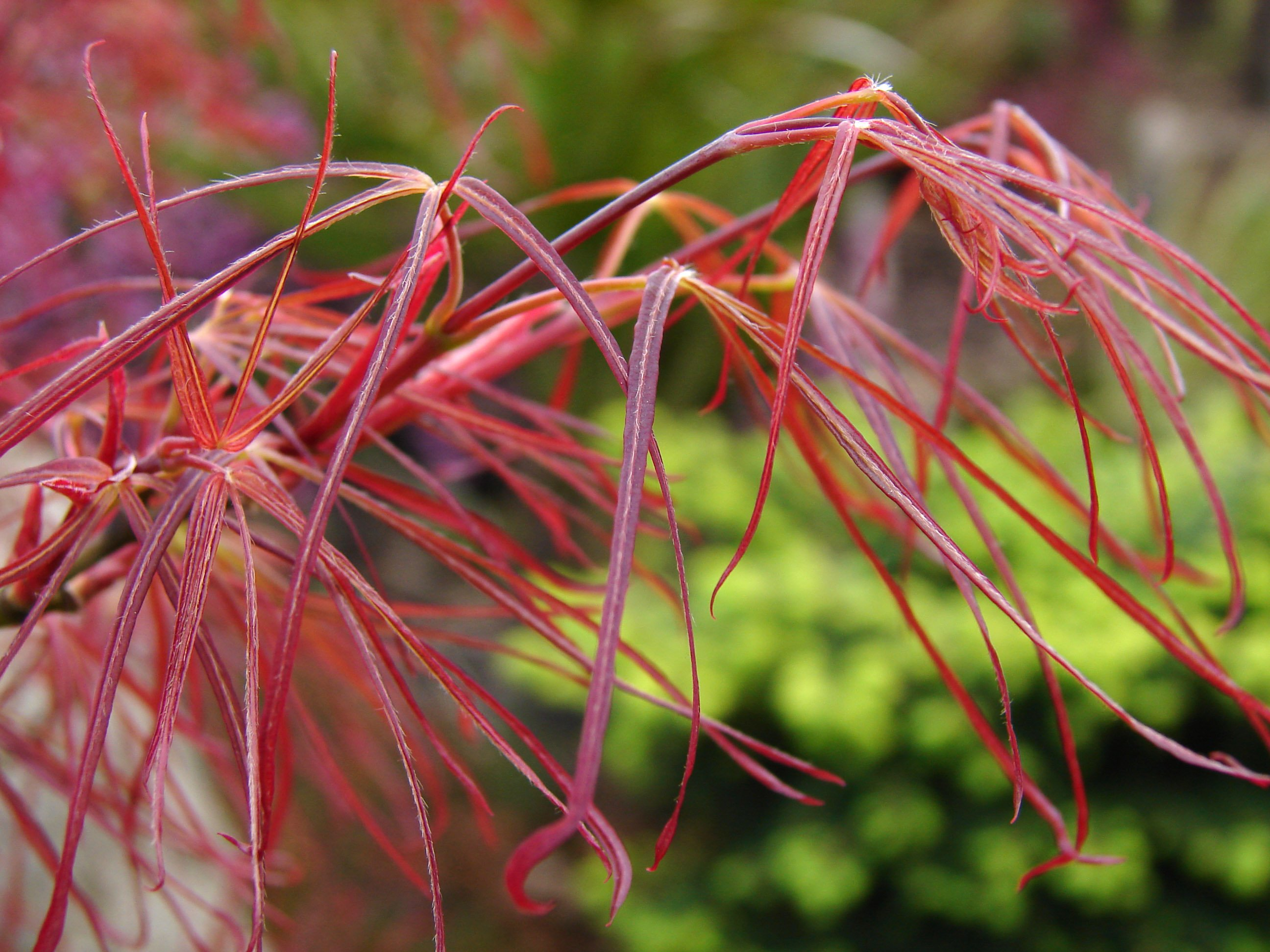 Acer Palmatum Red Pygmy Japanese Maple Tree Blerick Trees Buy