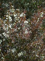 Leptospermum - Copper Glow