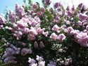 Lagerstroemia - Indian Summer Crepe Myrtle Yuma Crepe Myrtle Tree (Pale Pink)