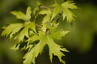 Acer saccharinum - Silver Maple Tree Yellow Maple Tree