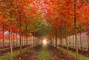 Acer truncatum x platanoides Keithsform Norwegian Sunset Map Tree