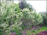 Ornamental Pear Tree Pyrus nivalis - Snow Pear