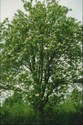 Sorbus aucuparia (Mountain Ash) - Rowan Tree