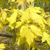 Acer negundo - Kellys Gold  Yellow  Maple Tree