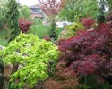 Acer japonicum - Aureum Golden Full Moon Maple Tree