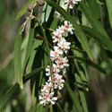 Agonis flexuosa - Willow Myrtle
