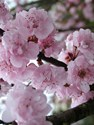 Prunus blireana - Flowering Plum Tree