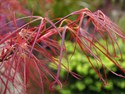 Acer palmatum - Red Pygmy Japanese Maple Tree