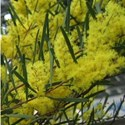 Acacia boormanii - Snowy River Wattle