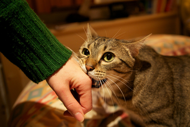How to stop your cat from biting