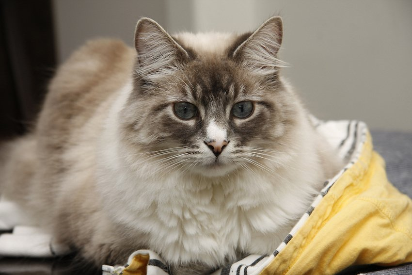 How To Detangle Your Cat S Coat